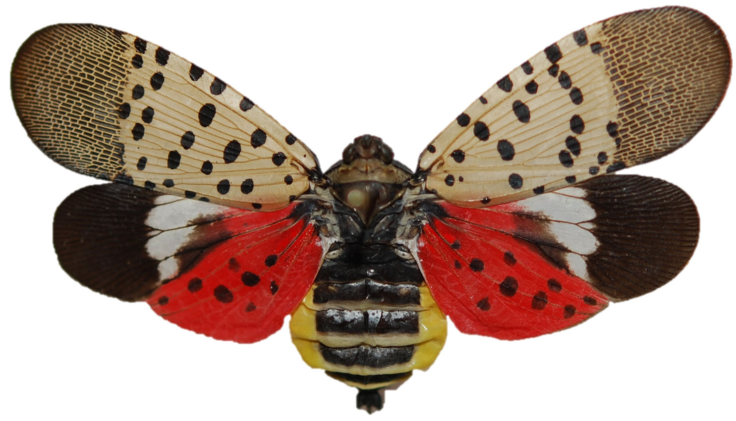 Spotted Lanternfly threatens southeastern PA hardwoods - Image
